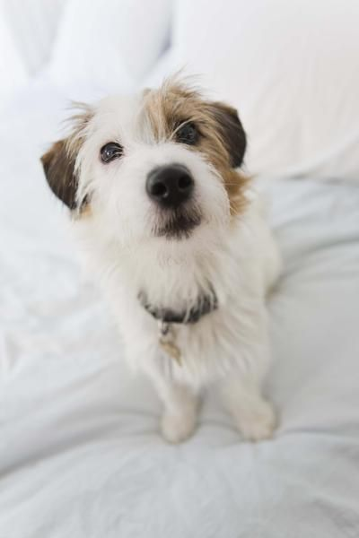 How To Groom A Wire Haired Parson Russell Terrier Scruffy Dogs