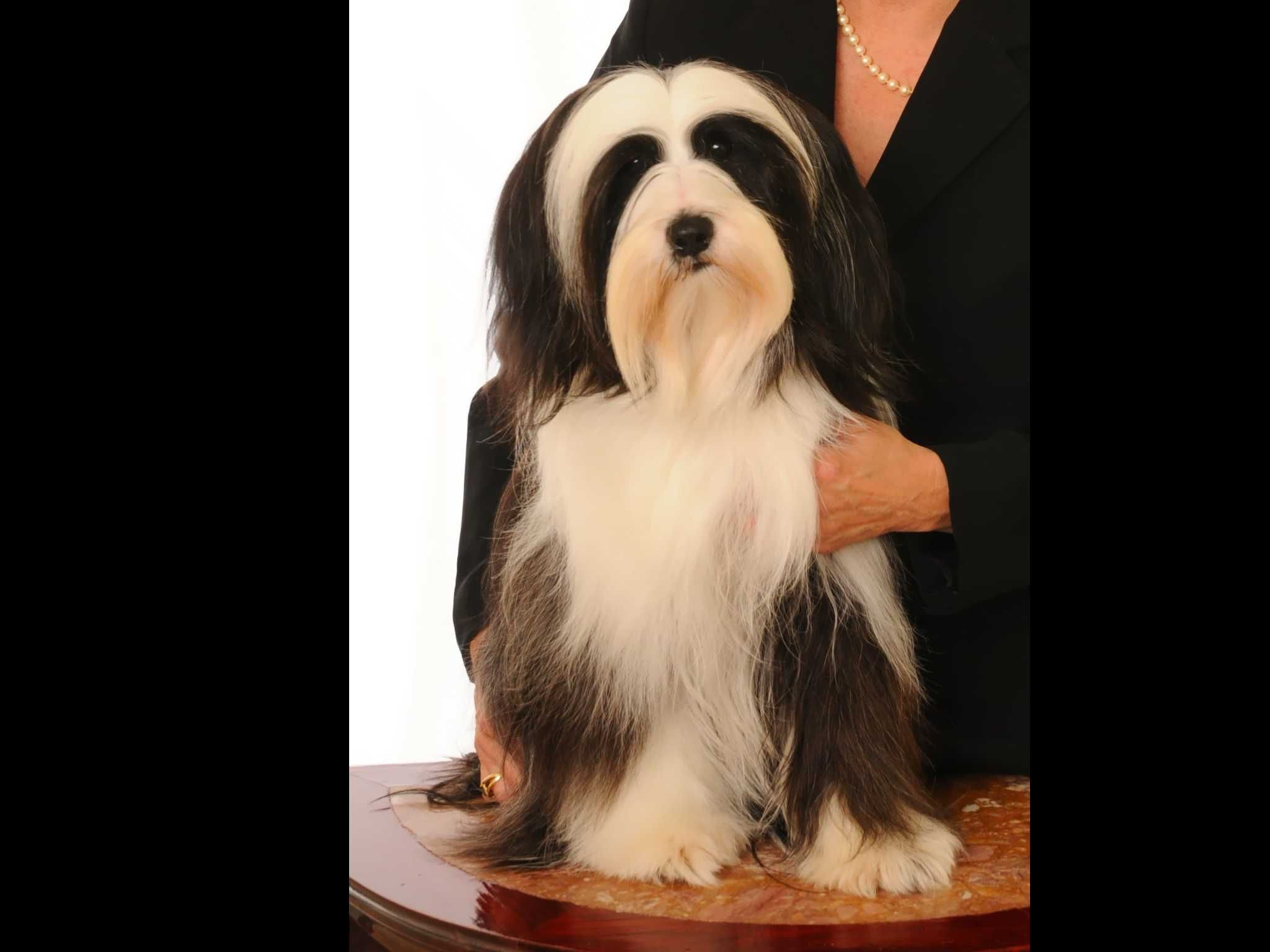 Lori Toth Is From Virginia And Breeds Tibetan Terriers Akc Proudly Supports Dedicated And Responsibl Havanese Puppies For Sale Tibetan Terrier Havanese Puppies