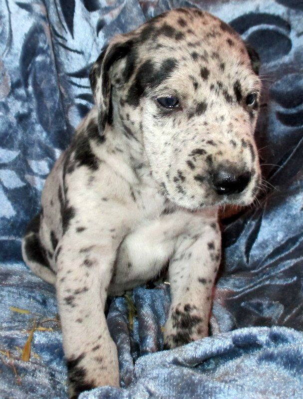 Litter Of 9 Great Dane Puppies For Sale In Conover Nc Adn 68531
