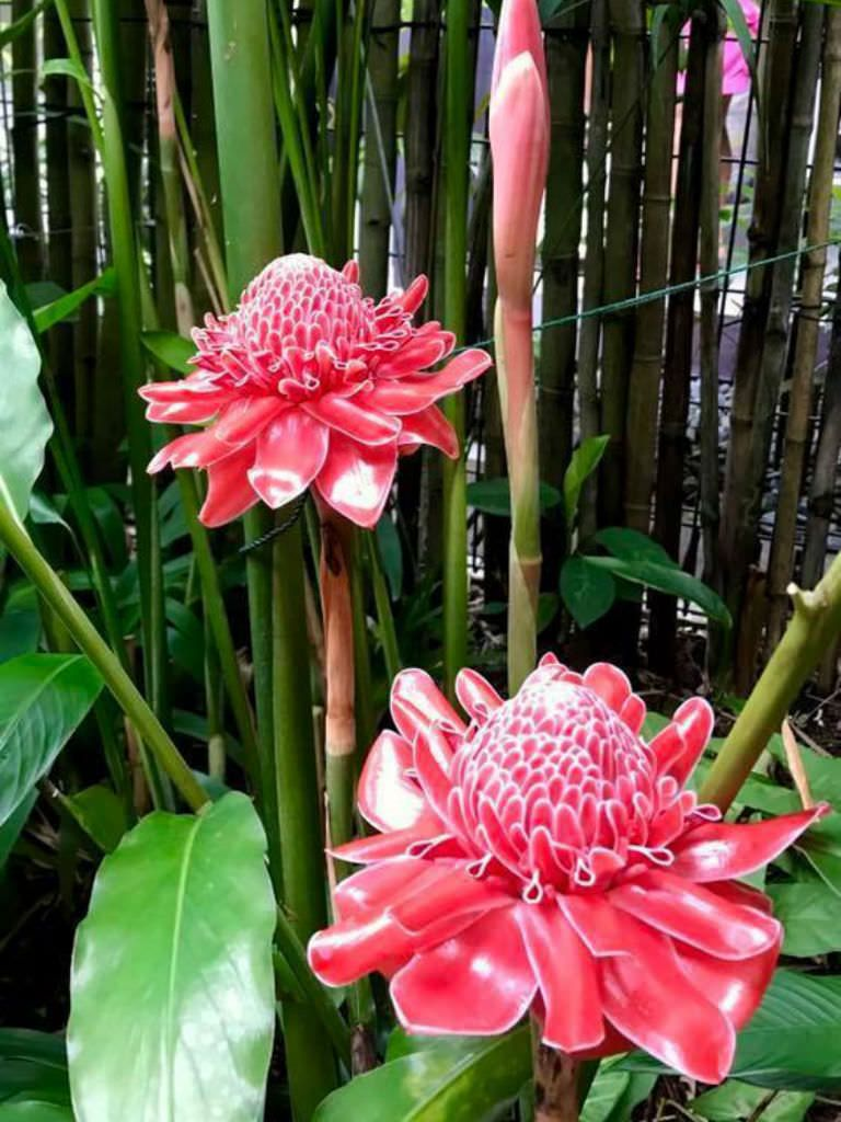 Etlingera Elatior Torch Ginger Is A Tropical Rhizomatous Perennial That Grows Up To 15 Feet 4 5 M Tall In T Ginger Flower Torch Ginger Flower Torch Ginger
