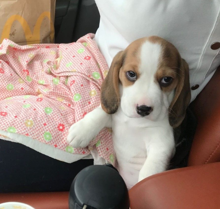 100 Female Beagle Dog Names With Images Dog Names Beagle Dog
