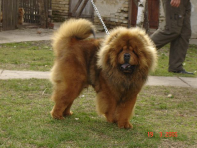 Pin By Snezana Potic On Chow Chow Chow Chow Dogs Puppies Chow Chow
