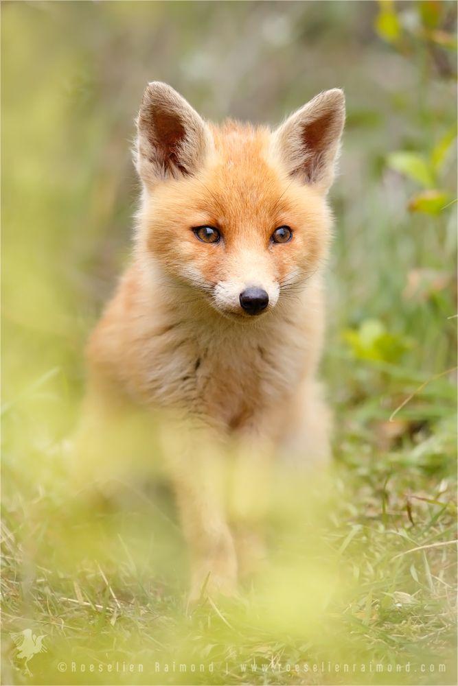 Fox behind the Ferns by thrumyeye.deviantart.com on @DeviantArt