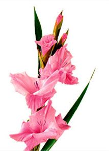 Pin By Jessica Willey On Tattoo Ideas Gladiolus Flower Gladiolus Flower Meaning Birth Month Flowers