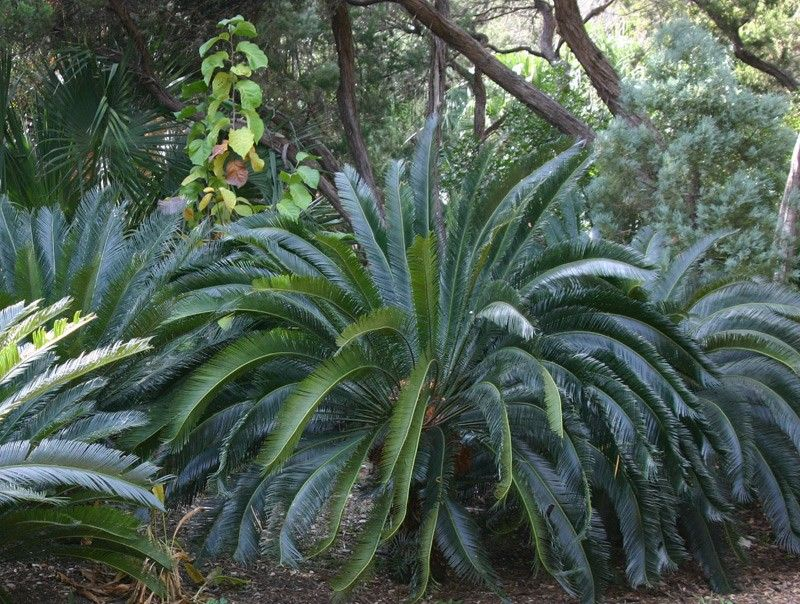 Cycas Taitungensis Y05 10 Zone 8a To 10 Taiwan Emperor