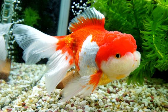Omg Look At This Oranda Those Cheeks Goldfish Oranda Goldfish Fantail Goldfish