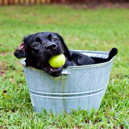 Black Labrador Dog With A Ball In Its Mouth Sitting Inside A Wash