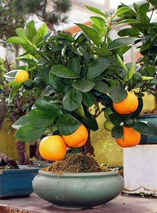 900 Seeds Organic Lettuce Butterhead Bibb Non GMO Non Hybrid Heirloom Vegetable Seeds for Planting #RRCA
