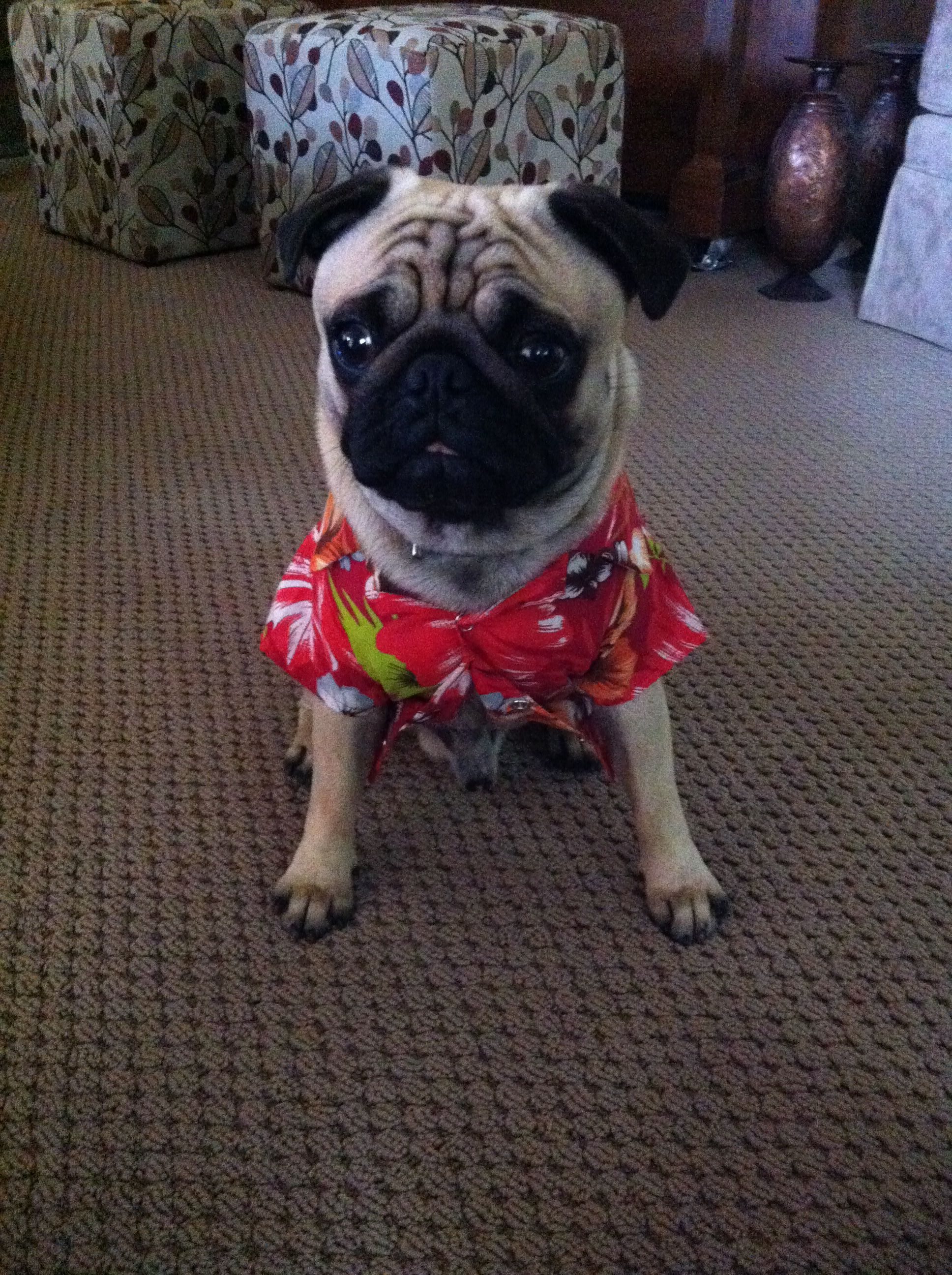 Pin By Laura Flores On A Pugs Life Pugs Pug Life Animals