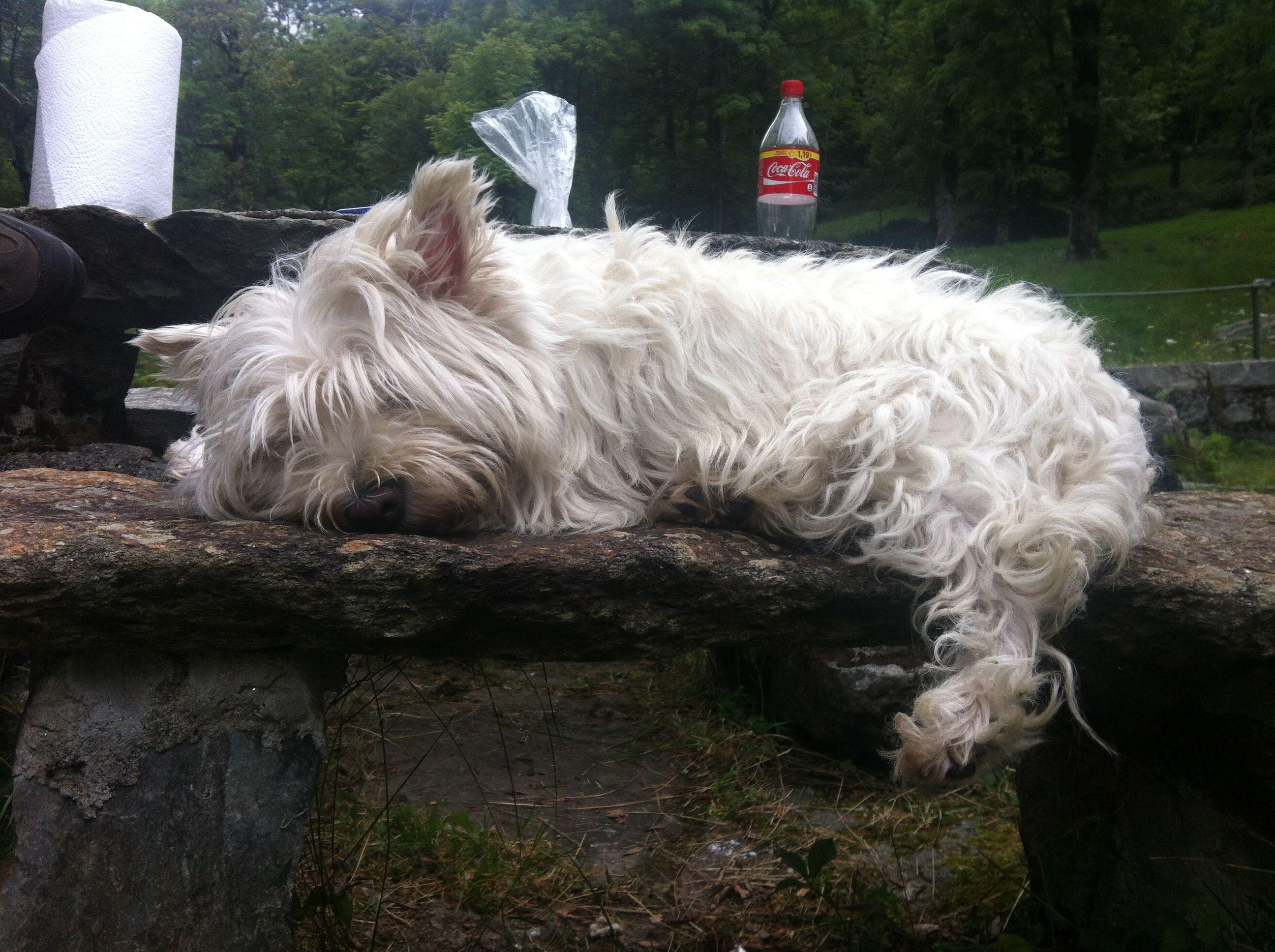 Sleeping Dog Westie West Highland Dog Pet Cute Terrier Zelda Westie Terrier Sleeping Dogs Dog Life