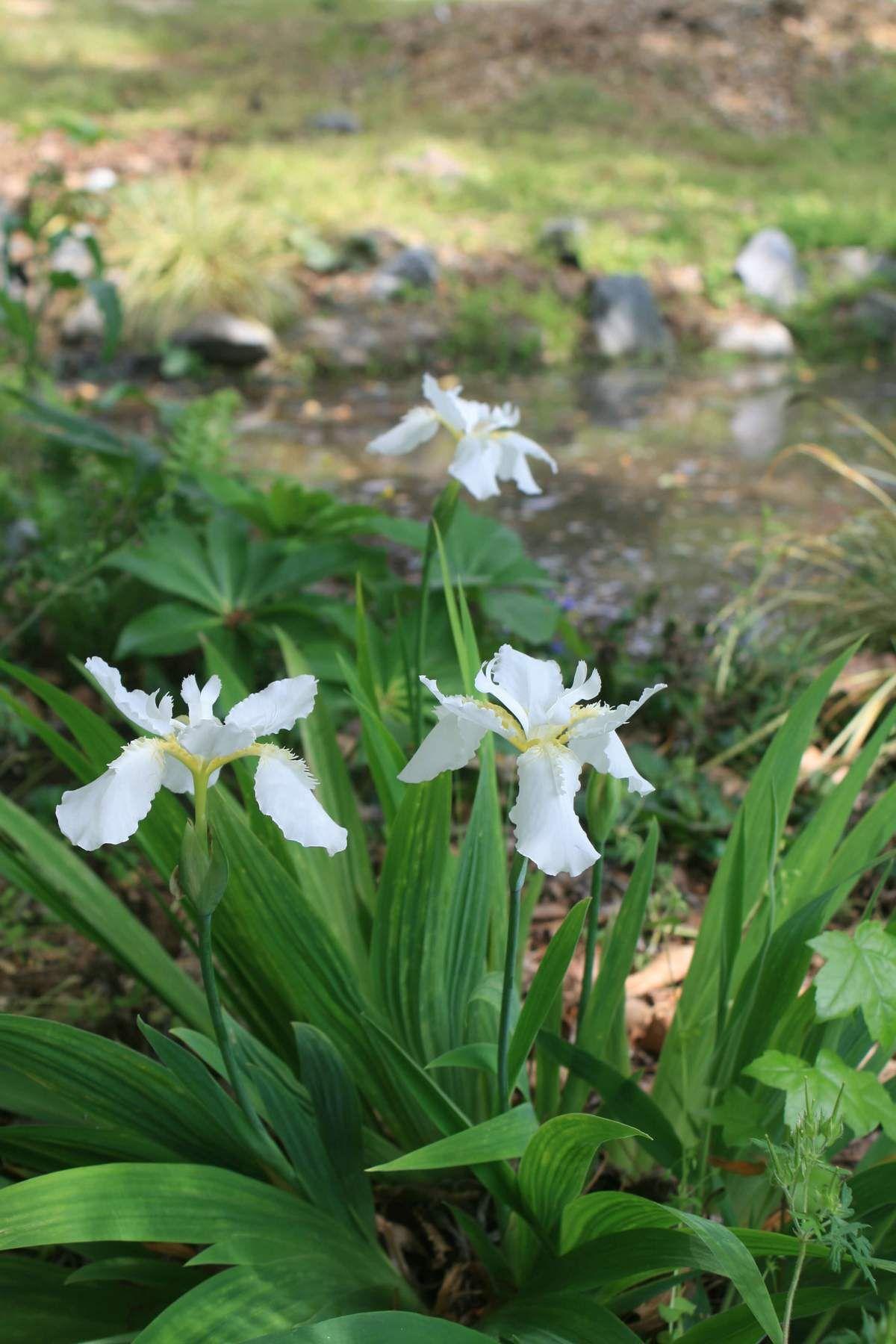 Iris Tectorum Alba Japanese Roof Iris In 2020 Outside Plants Japanese Garden Style Japanese Garden