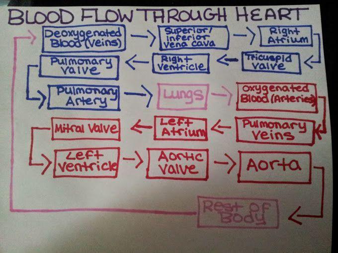 Blood Flow Through the Heart ~ Nursing, Phlebotomy ...