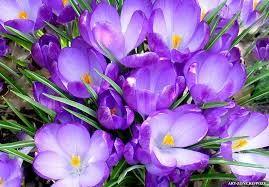 Imagini Pentru Imagini De Primavara Crocus Flower Most