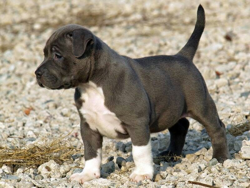 Cute Little Black Blue Nose Puppy Blue Nose Pitbull Puppies