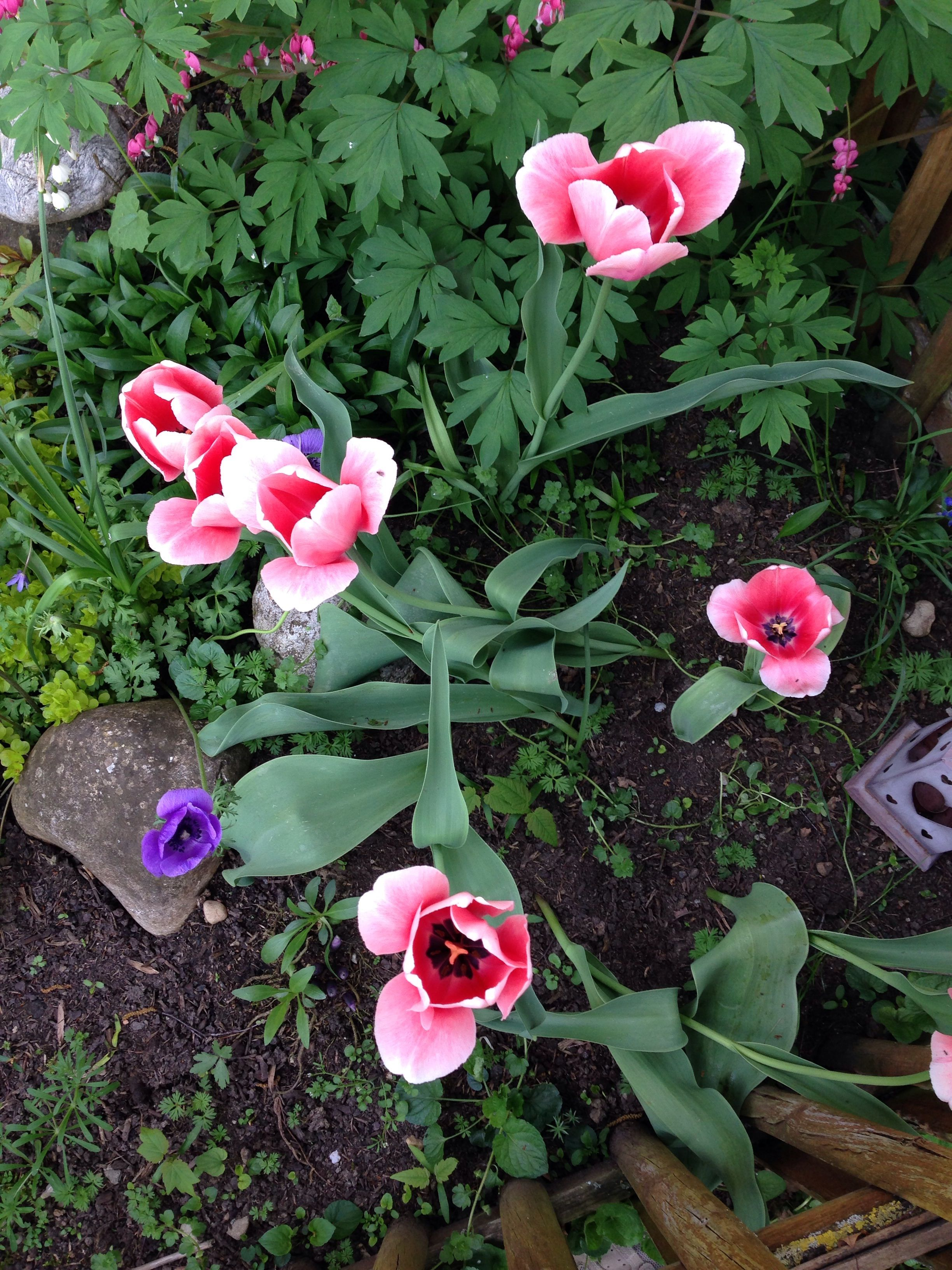 Tulipe Tu Meurs