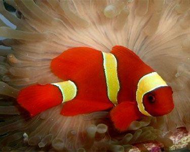 Yellow Stripe Maroon Clown Fish Clown Fish Fish Salt Water Fishing