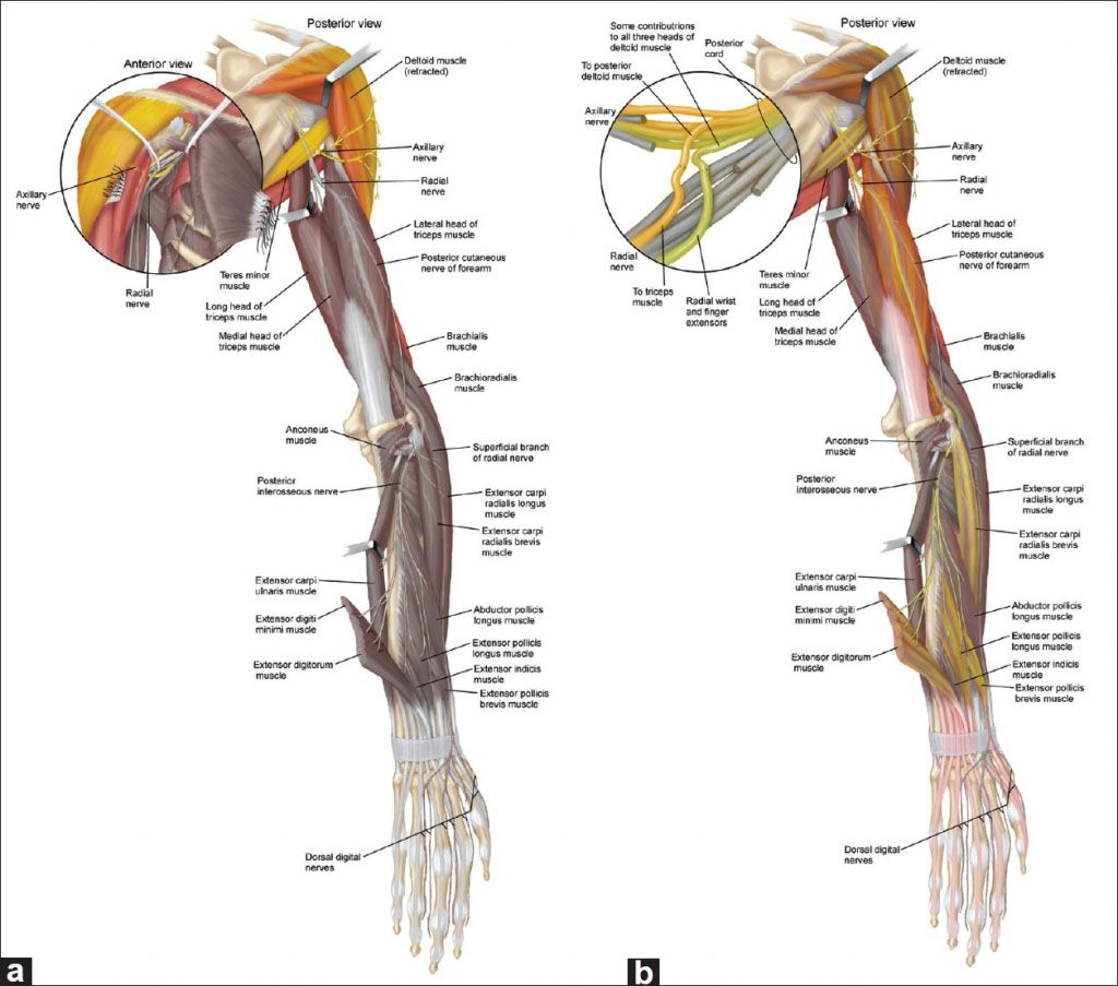 The Radial Nerve Of Upper Extremity Anatomical Structure Www