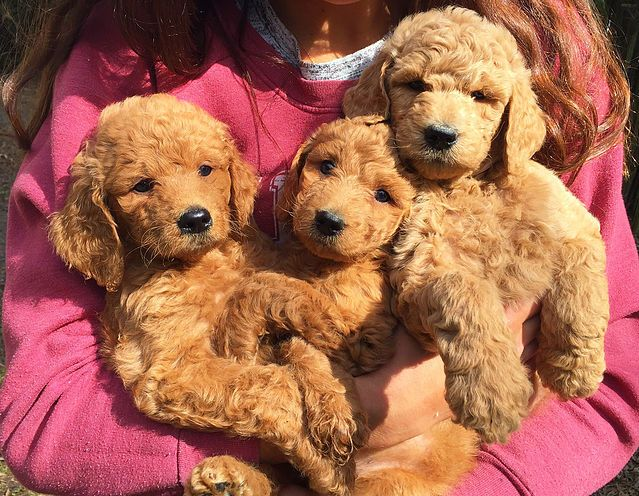 Goldendoodle Labradoodle Labradorretriever Goldenretriever Puppies Puppy Teddybeardog Doodlepup Goldendoodle Teddy Bear Dog Goldendoodle Puppy For Sale
