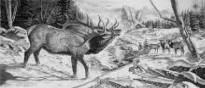 Rocky Mountain Elk pencil drawing