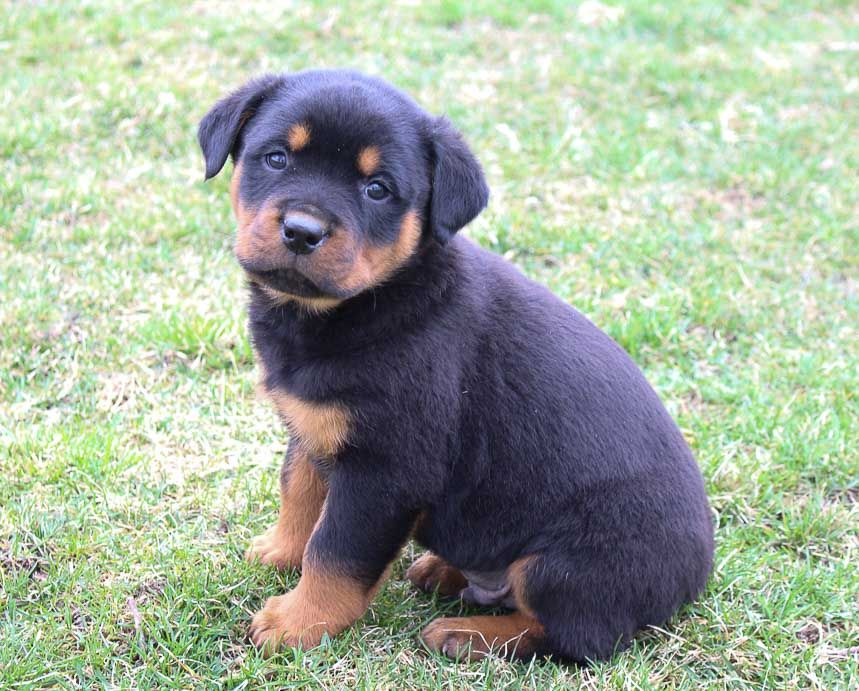 Axel male AKC Rottweiler pupper for sale at New Haven