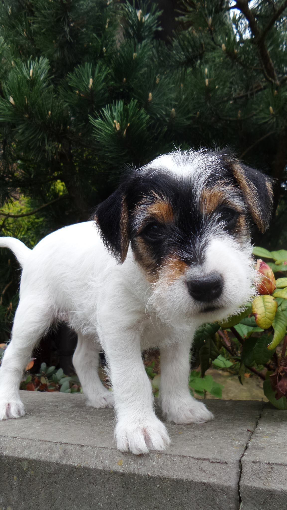Jack Russell Puppy Jack Russell Puppies Wire Fox Terrier Dogs
