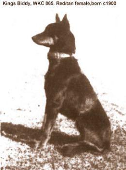Old Kelpie Breed Photo Aussie Dogs Hound Puppies Working Dogs