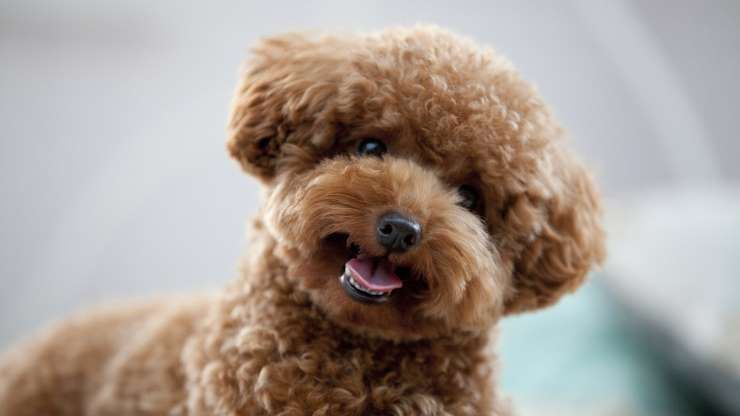 Poodles Average Weight Male 4 6 Lbs Toy 15 Lbs