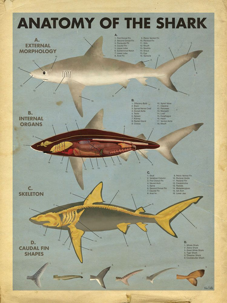 Anatomy Of The Shark Shark Love Pinterest Shark Anatomy And