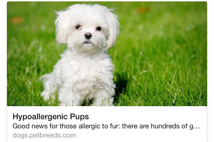 Hypoallergenic pups Tiny dog breeds, Dog breeds that