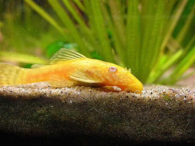 Albino Bristlenose Pleco Fish Tropical Fish Pictures Aquarium Fish