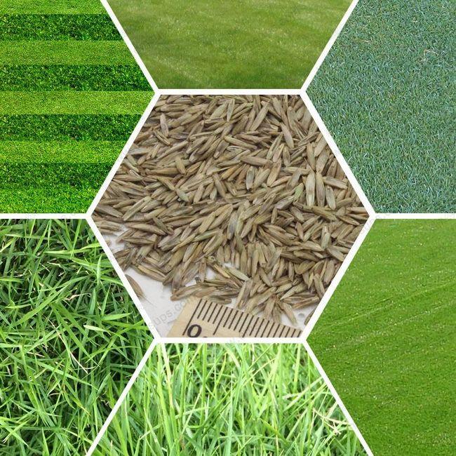 diff rentes vari t s de semence de gazon selon votre utilit refaire la pelouse ou gazon. Black Bedroom Furniture Sets. Home Design Ideas