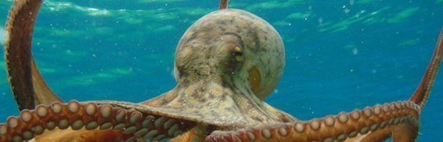 Pulpo (Octopoda)