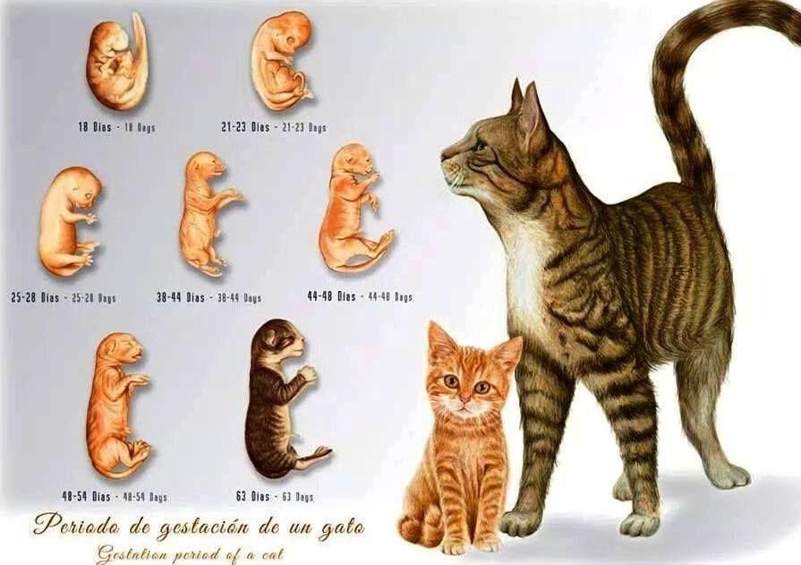 Cat gestation period. infograpic Gatos, cats, TIPS