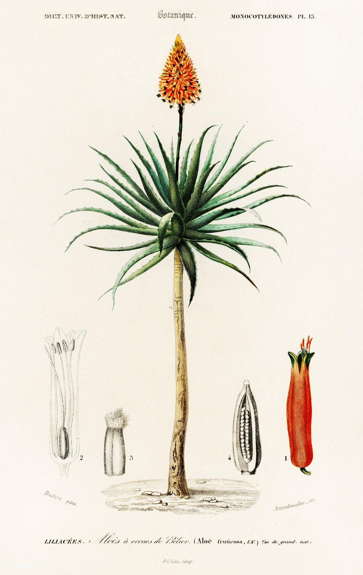 Candelabra Aloe Aloe Fruticosa Illustrated By Charles Dessalines D Orbigny 1806 1876 Digitally Enhanced From Our O Botanical Art Antique Prints Botanical