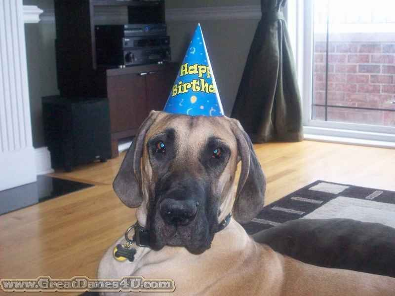 Maximus A Fawn Great Dane In Chicago Turns 1 Year Old Poor Puppy
