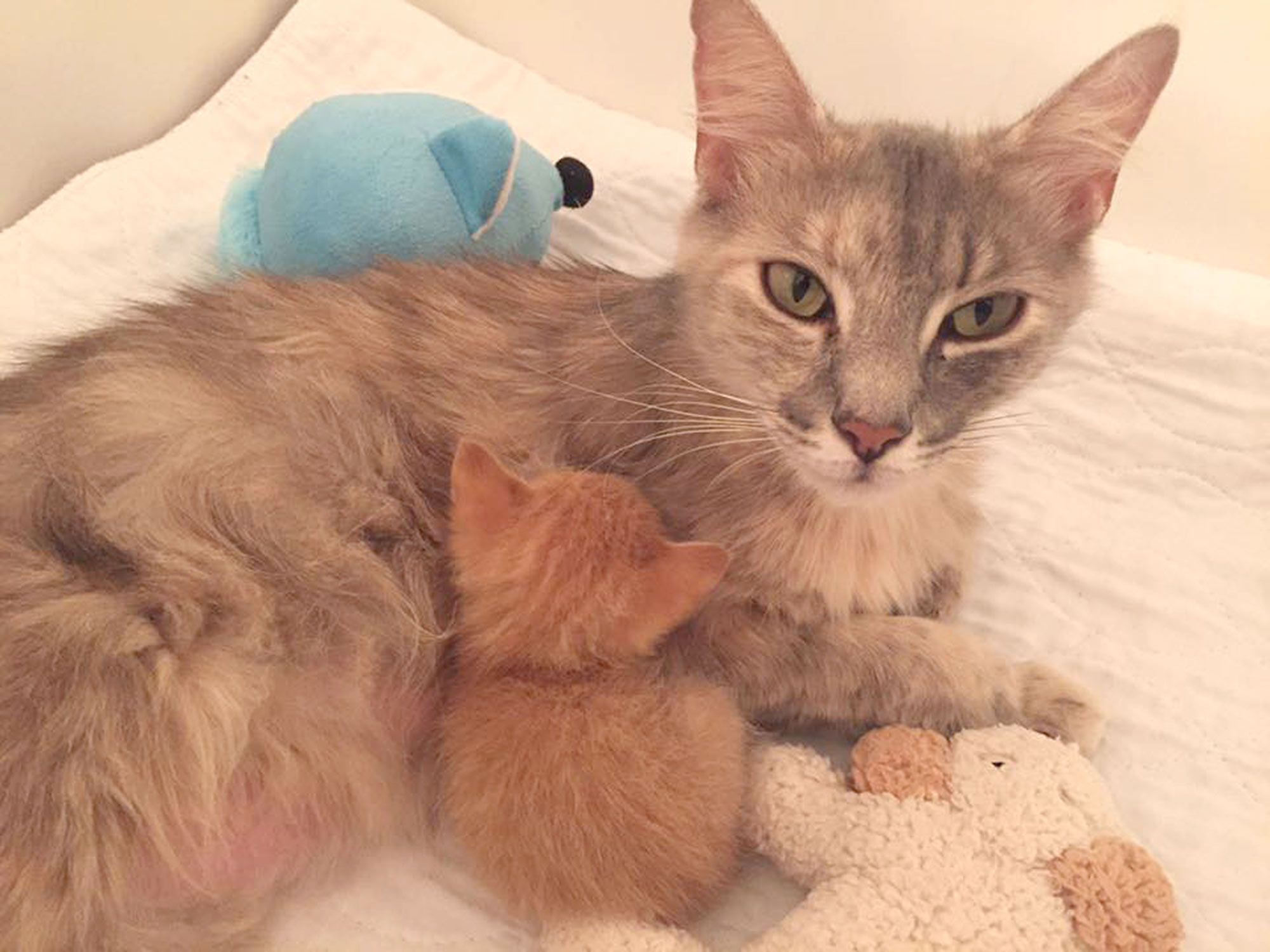 Watch Grieving Mother Cat And Orphaned Ginger Kitten Become Little Family Kitten Care Cat Care Mama Cat