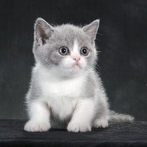 Shorthair Kittens Sale White British For