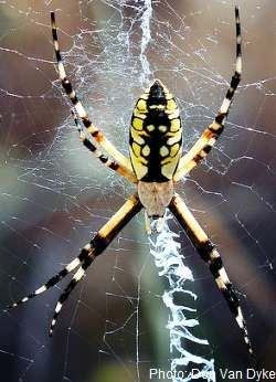 The Golden Orb Weaver (Nephila edulis) is one of the biggest spiders found in Australia. Their webs are so large that they can be spotted on a long distance both because of their size, but also because of their yellow-golden color. Females are much larger than males and can reach a length of 4.5 cm or 1.3 inches.