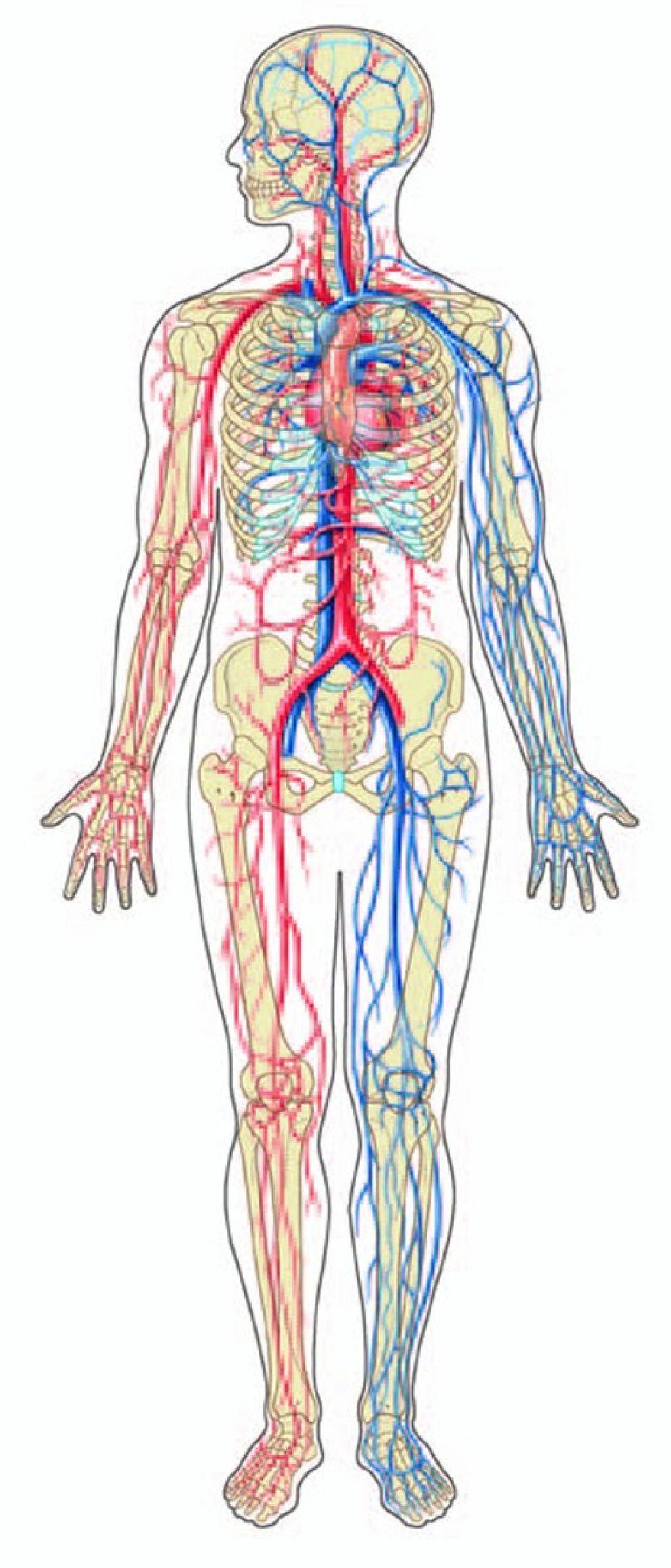 Circulatory System Diagram Black And White