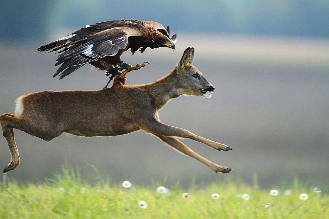 Sejna, Ibor - Golden Eagle