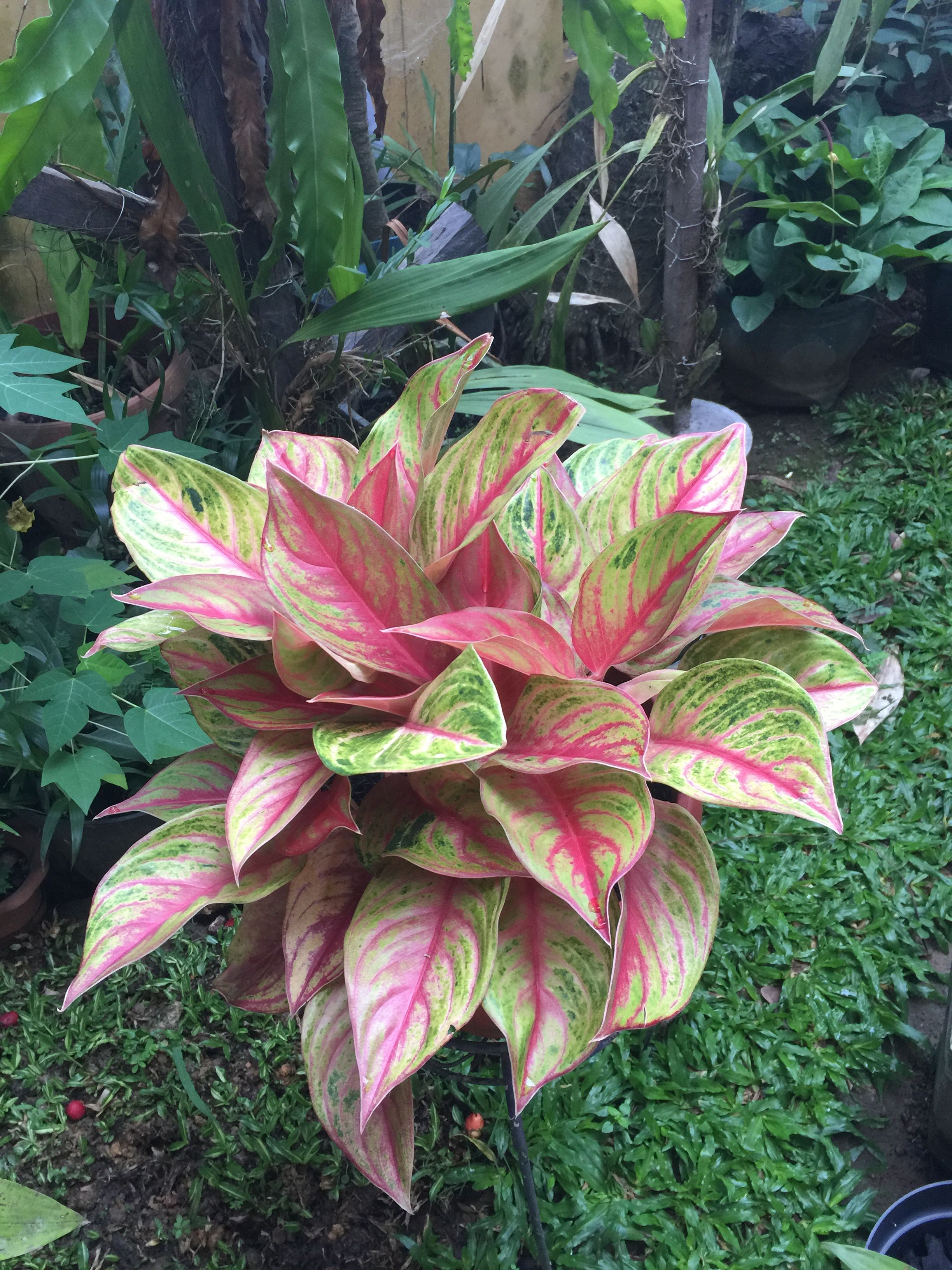 Aglaonema Red Panama  Riariz Collection