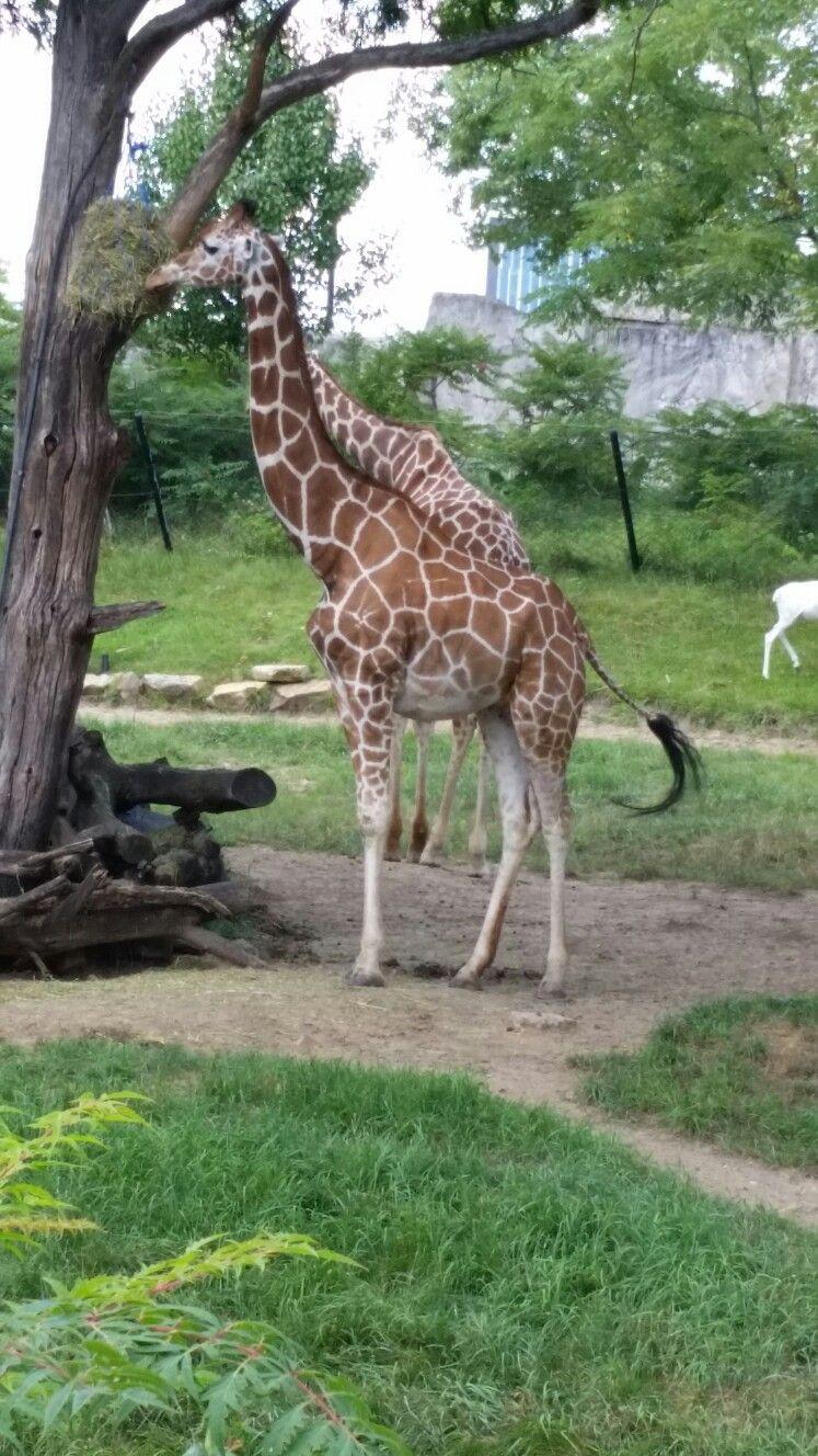 Giraffes indianapolis zoo Indianapolis zoo, Giraffe, All