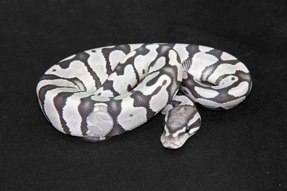 True Ghost Ball Python   Reptiles   Ball python morphs ...