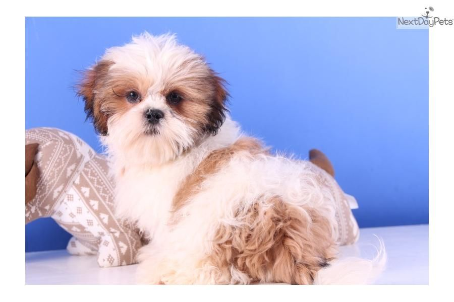 Meet Chewie A Cute Shih Tzu Puppy For Sale For 299 Chewie Cute Shih Tzu Shih Tzu Shih Tzu Dog Shih Tzu Puppy