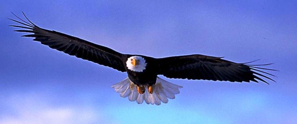 Unduh 67+ Gambar Burung Elang Terbang Terbaru Gratis