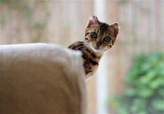 Rspca Young Photographer Awards Bengal Kitten Animals Cats