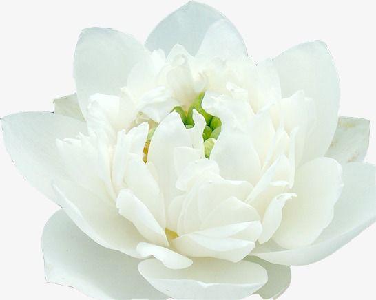 kwiat lotosu thesis