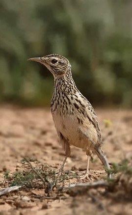Lesser Hoopoe Lark Alaemon Hamertoni Beautiful Birds Funny