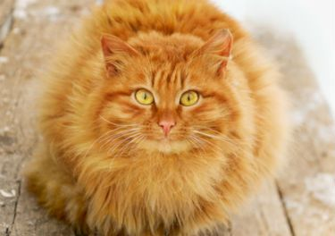 Feline Vomiting : Why is my cat throwing up?   Cat ...