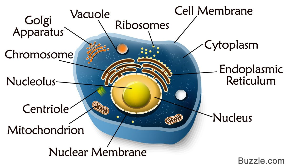 The Structure Of An Animal Cell Differs Slightly From A Plant Diagram In Terms Shape Protective Covering And Organelles Labeled